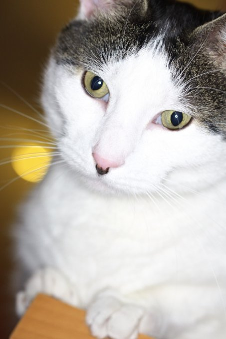 Schöne Katze fotografiert mit Aputure AHL-HC100 Ringblitz.