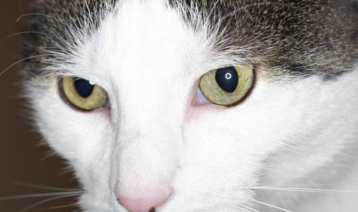 Katze Closeup Aufnahme mit Aputure Makro Ringblitz.
